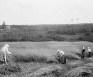 Labības pļauja XX gs. sākumā